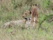 ویدئو :    دوستی اهو و یوزپلنگ
