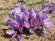 آیا گیاه زعفران در کنترل سرطان تاثیرگذار است؟