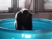 ویدئو :   عکس العمل گوریل وقتی در آب قرار می گیرد _دی دیل