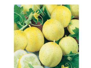 بذر خیار لیمویی