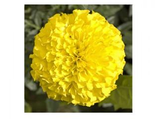 بذر گل جعفری زرد 1919