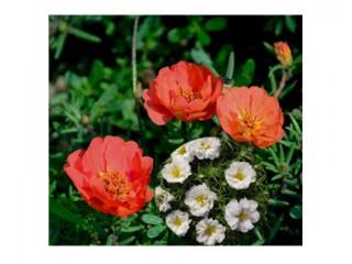 بذر گل ناز آفتابی سفید قرمز 4620