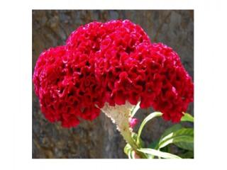 بذر گل تاج خروس قرمز 1810