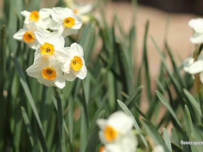 پیاز گل نرگس شیراز (معطر)