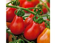 بذر گوجه چری قرمز گلابی