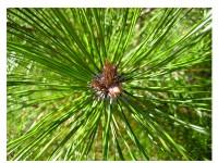 بذر درخت کاج سیاه