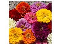بذر گل آهار پر پر 1020