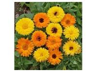 بذر گل همیشه بهار 4815