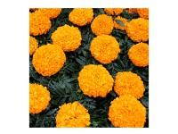 بذر گل جعفری نارنجی 1920