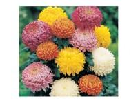 بذر گل داوودی 2351