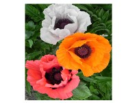 بذر گل شقایق الوان 2650