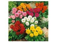 بذر گل کوکب یکساله 3315