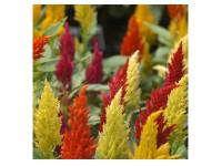 بذر گل تاج خروس افشان 1809