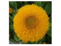بذر گل آفتابگردان زرد 1115