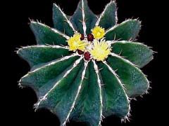 بذر کاکتوس فرو Ferocactus schwarzii