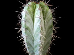 بذر کاکتوس پایه نقره ای Polaskia chichipe