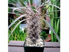 بذر نخل ماداگاسکار Pachypodium geayii