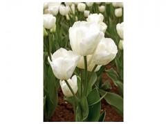 پیاز گل لاله هلندی - سفید