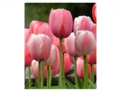 پیاز گل لاله هلندی - صورتی