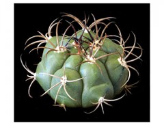 بذر  ژمینو Gymnocalycium sagleone