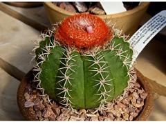 بذر کاکتوس ملو Melocactus matanzanus