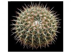 بذر کاکتوس نوتو Notocactus roseoluteus