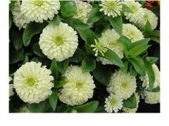 بذر گل آهارF1 فرانسه سفید