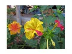 بذرگل لاله عباسی ابلق گلهای چندرنگ پامتوسط الوان